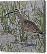 Whimbrel Canvas Print