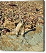 Whistle Pig Of The Rockies Canvas Print