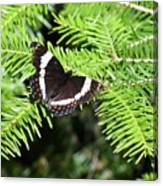 White Admiral On Tree Canvas Print