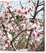 White Almond Flowers Canvas Print