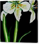 White Amaryllis Canvas Print