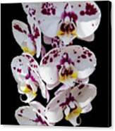 White And Magenta Orchids Canvas Print