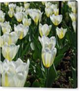 White And Pale Yellow Tulips In A Bulb Garden Canvas Print