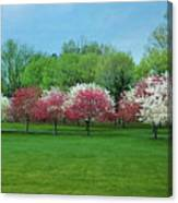 White And Pink Cherry Blossoms Canvas Print