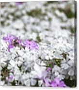 White And Pink Flowers At Botanic Garden In Blue Mountains Canvas Print