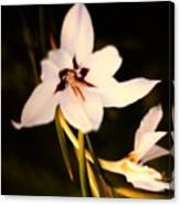 White And Purple Lily Canvas Print