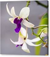 White And Purple Orchid Canvas Print