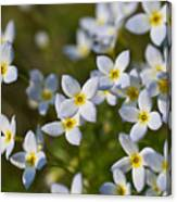 White And Yellow Blossoms Canvas Print