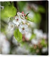White Apple Flowers Canvas Print