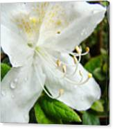 White Azalea Flower 9 Azaleas Raindrops Spring Art Prints Baslee Troutman Canvas Print