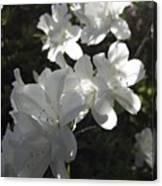 White Azaleas Canvas Print