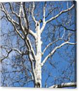 White Bark Canvas Print