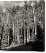 White-barked Birch Forest 3 Canvas Print