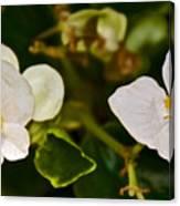 White Begonias At Pilgrim Place In Claremont-california Canvas Print