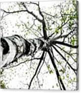 White Birch 2011-1a Canvas Print