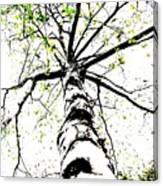 White Birch 2011-1b Canvas Print