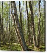 White Birch Forest Canvas Print