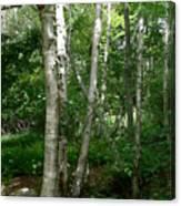 White Birch Tree Canvas Print