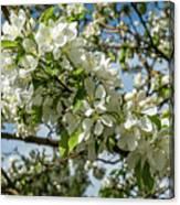 White Blossoms Canvas Print