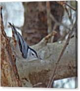 White Breasted Nuthatch - Sitta Carolinensis Canvas Print