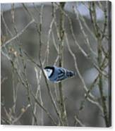 White Breasted Nuthatch 3 Canvas Print