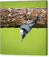 White-breasted Nuthatches Canvas Print
