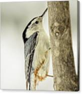 White-breasted Nuthatch Canvas Print