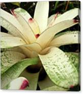 White Bromeliad Canvas Print