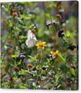 White Butterfly On Golden Daisy Canvas Print