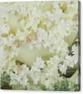 White Cabbage Canvas Print