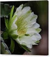 White Cactus Flower  Canvas Print