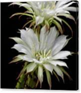 White Cactus Flowers Canvas Print