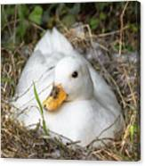 White Call Duck Sitting On Eggs In Her Nest Canvas Print