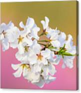 White Cherry Blossoms Against A Pink And Gold Background Canvas Print