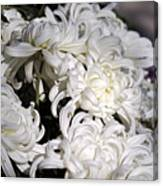 White Chrysanthemum Canvas Print