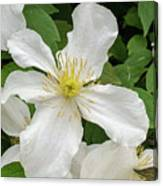White Clematis 0808 Canvas Print