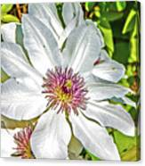 White Clematis Yellow And Purple Throat Canvas Print