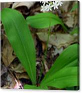White Clintonia Canvas Print