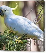 White Cockatoo Canvas Print