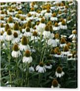 White Coneflower Field Canvas Print
