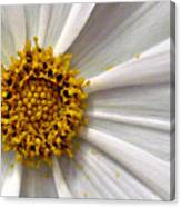 White Cosmos Canvas Print