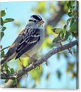 White-crowned Sparrow 0033-111017-1cr Canvas Print