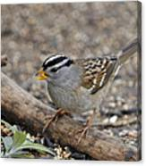 White Crowned Sparrow With Seeds Canvas Print