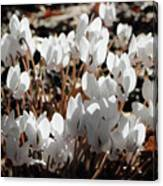 White Cyclamen Canvas Print