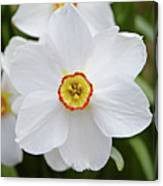 White Daffodil Canvas Print