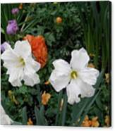 White Daffodills Canvas Print