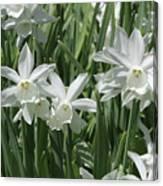 White Daffodils  Canvas Print