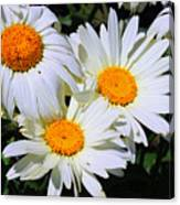 White Daisy Flowers Canvas Print