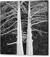 White Dead Trees Canvas Print