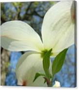 White Dogwood Flower Art Prints Blue Sky Baslee Troutman Canvas Print